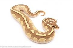 Lesser Fire ball python for sale