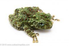 Mossy Treefrog