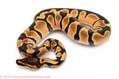 Orange Dream het Clown ball python