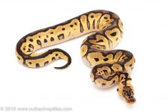 Pastel Clown ball pythons for sale