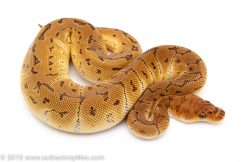 Pinstripe Clown ball python
