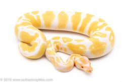 albino het pied ball python for sale
