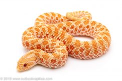 Albino Western hognose snake for sale
