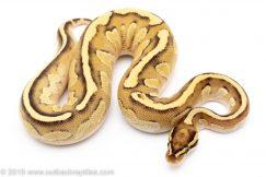Butter fire ball python for sale