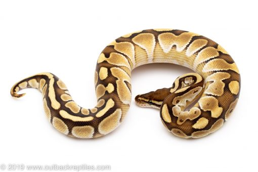 butter ball python for sale