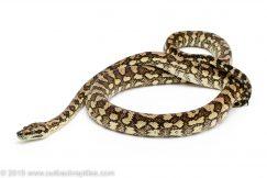 Caramel Carpet Python for sale