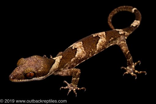Clawed Gecko for sale