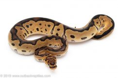 Orange Dream Clown ball python for sale