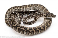 Coastal Carpet Python for sale