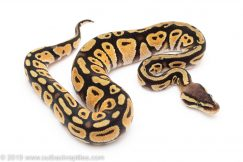 Pastel Cypress ball python for sale
