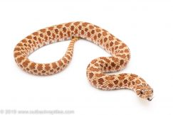Western hognose snake for sale
