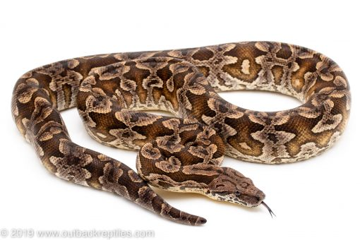 Dumeril's Boa for sale