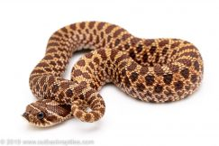 Het ALbino Western hognose snake for sale