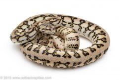 Jaguar Carpet Python for sale