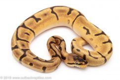 Leopard SPider Enchi ball python for sale