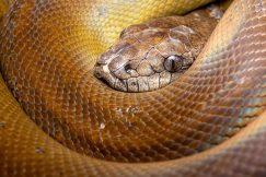 Papuan Olive Python