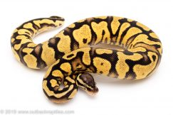 Pastel Yellowbelly het Pied ball python for sale
