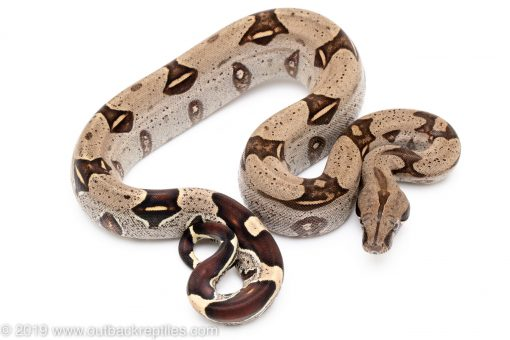 Iquitos Peruvian Redtail Boa for sale