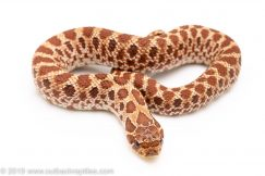 Red Phase Western hognose snake for sale