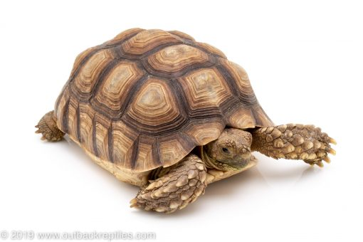 Sulcata Spur Thigh Tortoise for sale