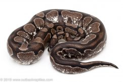 VPI Axanthic Calico ball python for sale