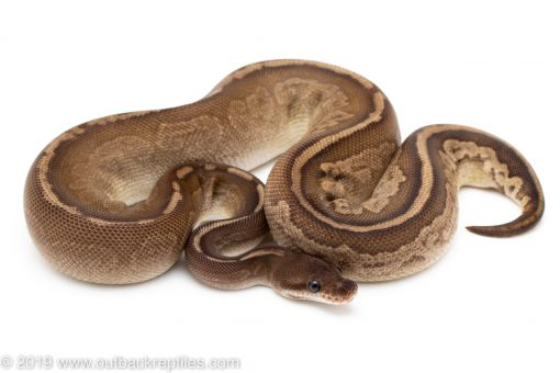 Whiplash ball python for sale