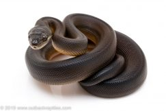 Brown Water Python for sale