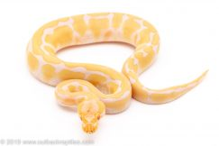 ALbino enchi ball pythons for sale