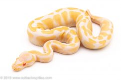 ALbino ball pythons for sale