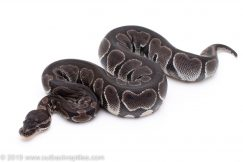 Black Axanthic ball python for sale