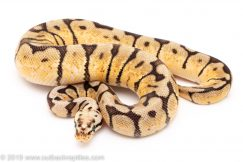 Bumblebee ball pythons for sale