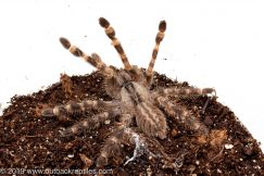 Indian Ornamental tarantula for sale
