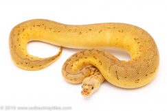 Lemon Blast clown ball pythons for sale