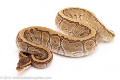 Lesser Woma Pinstripe ball pythons for sale