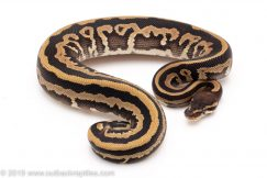 Mystic Leopard ph pied ball pythons for sale