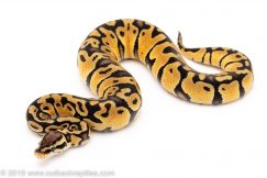 Pastel het clown ball pythons for sale