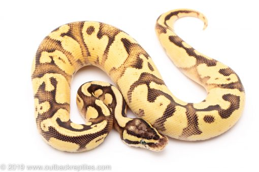 pastel lucifer ball pythons for sale
