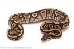 Phantom ball pythons for sale
