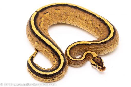 Super Stripe ball pythons for sale