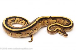Super Stripe ball pythons for sale