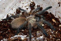 balfouri blue baboon tarantula