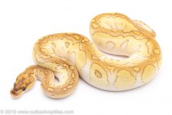 butter clown ball python for sale