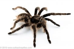 curly hair tarantula for sale