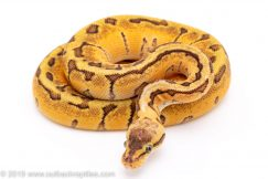 pastel enchi woma pinstripe ball python for sale