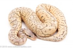 Ghost black pewter bee ball python for sale