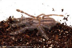 Gooty sapphire tarantula for sale