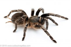 stripe knee tarantula for sale