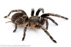 stripe knee tarantula for sale