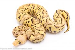 Super FLy Clown ball python for sale
