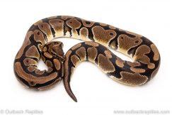 Het clown female breeder ball python for sale